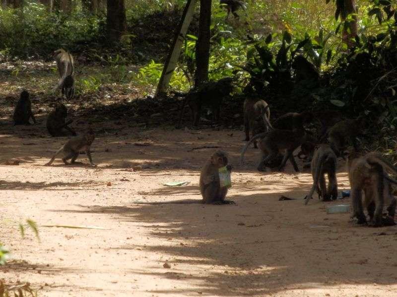 Affenbande auf Koh Jum